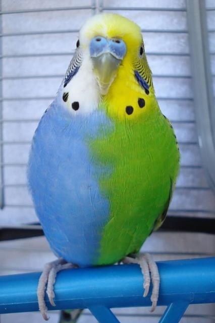 Длиннохвостый попугай фото