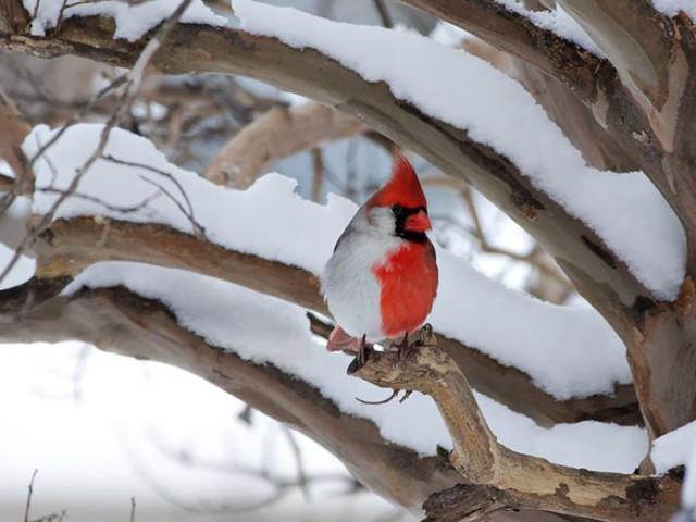 Красно-белый северный кардинал фото