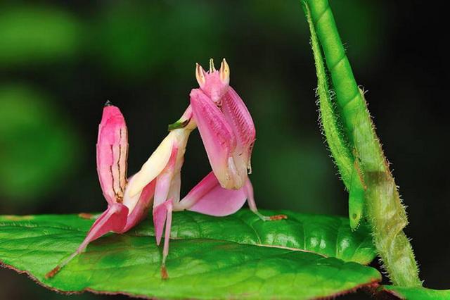 Богомол-орхидея фото