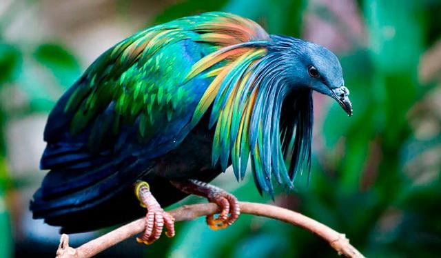Никобарский голубь фото